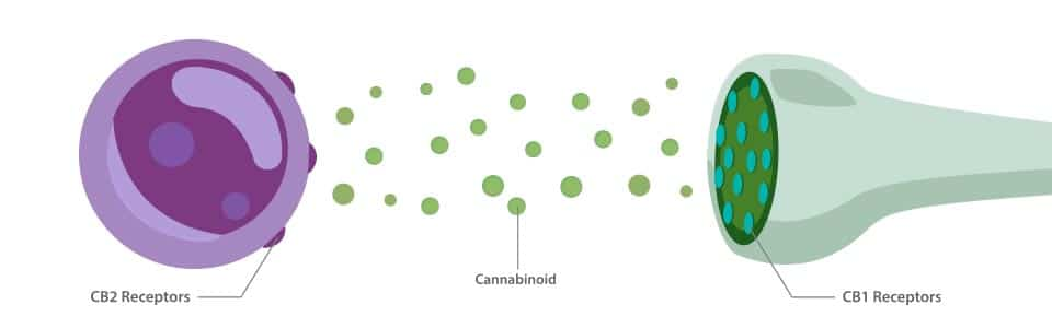 What is the Endocannabinoid System Receptors?
